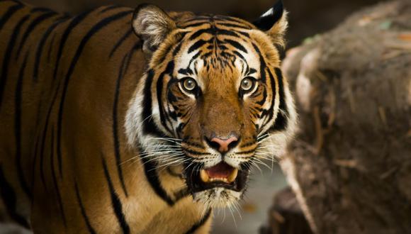 Los tigres y otros enormes felinos del zoológico de Banham, en Inglaterra, enloquecen con el aroma de cierta marca de perfume y sus cuidadores piden a sus visitantes que les donen las botellas que ya no usen. (Foto: Pixabay/Referencial)