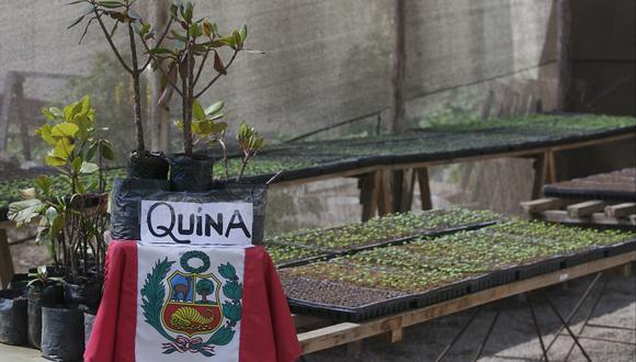 La quina, el árbol en peligro de extinción que podría proveer el fármaco para luchar contra el coronavirus. (Foto: GEC)