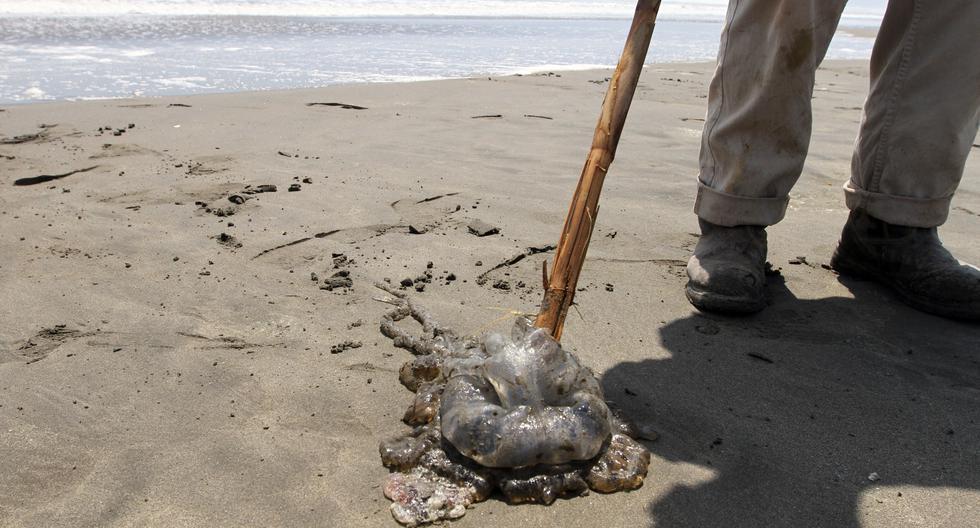 Instituciones de Estados Unidos alertan de la presencia de medusas melena de léon en las playas.  (Foto referencial: VIOLETA AYASTA / AFP)