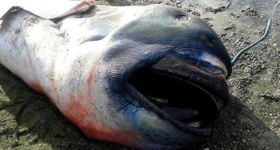 El tiburón de boca ancha será conservado en hielo para su estudio. (Rappler)
