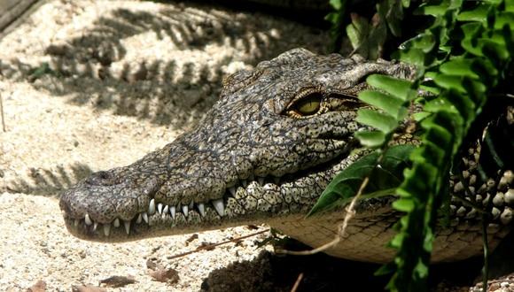 El enorme cocodrilo fue visto deambulando por un vecindario de Orlando, en la zona central de Florida. (Foto: Pexels/Referencial)