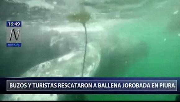 Uno de los participantes del rescate grabó con su cámara acuática cómo es que el cetáceo estaba enredado con las mallas. (Canal N)