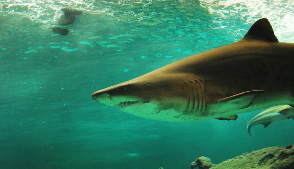Un enorme tiburón blanco atacó de imprevisto a otro más pequeño de su misma especie en Sudáfrica. (Crédito: Pexels/Referencial)
