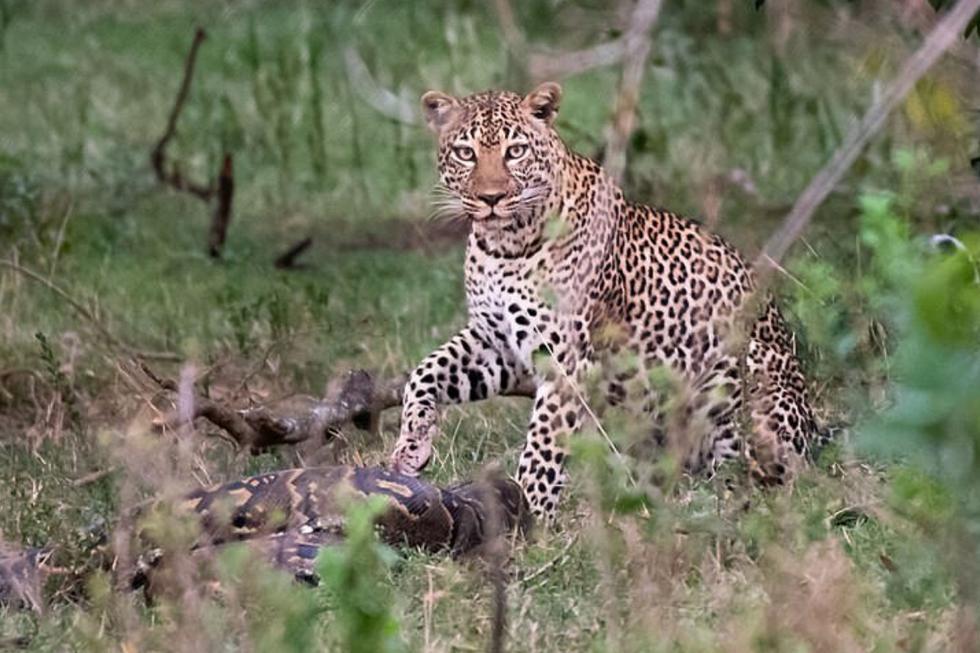 Una pitón decidió enfrentarse a un leopardo en medio de la reserva natural Maasai Mara Triangle de Kenia. (Foto: Kennedy News and Media)