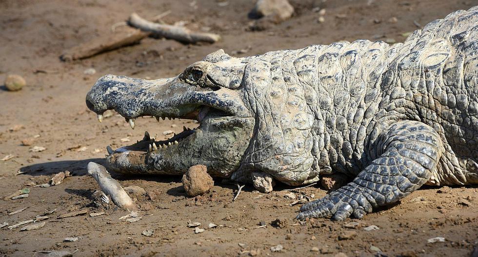 Imagen referencial. Muere en Rusia caimán que al parecer le perteneció a Adolfo Hitler. (AFP).