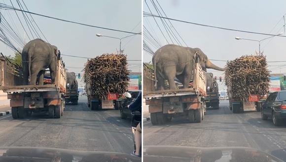 Mientras los automovilistas esperaban a que el semáforo se pusiera en verde, los elefantes no perdieron el tiempo y se pusieron a disfrutar de la caña. (Fotos: Captura)