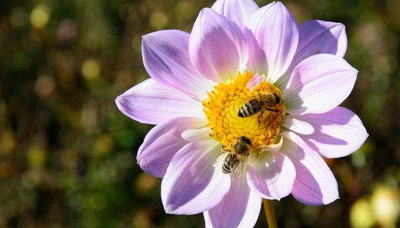 Un video viral muestra cómo dos abejas destaparon una bebida gaseosa al trabajar en equipo. | Crédito: Pixabay / Referencial / ViralHog / YouTube