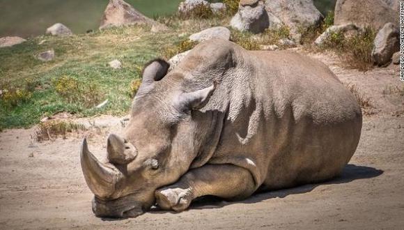 Cuerno de rinoceronte se convertirá nuevamente en objeto de comercialización. (Difusión)