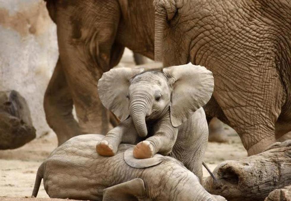 El zoológico de San Diego alberga a varios, y su página de Facebook está llena de adorables fotografías y videos de estos pequeños.