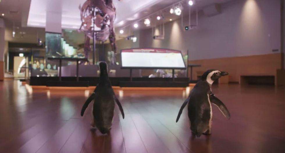 FOTO 1 DE 4   Aprovechando que está cerrado al público, unos pingüinos realizaron una visita 'guiada' por las instalaciones del Museo Field de Historia Natural de Chicago (Estados Unidos).   Foto: Captura/Shedd Aquarium (Desliza a la izquierda para ver más fotos)