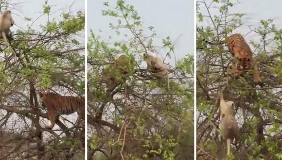 Un tigre intentó atrapar a un mono en lo alto de un árbol y sufrió las terribles consecuencias de sus actos. (Foto: Caters Clips en YouTube)