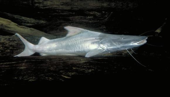 Nueva especie de pez bagre fue hallada en la localidad de Río Preto Da Eva, en el estado de Amazonas de Brasil.