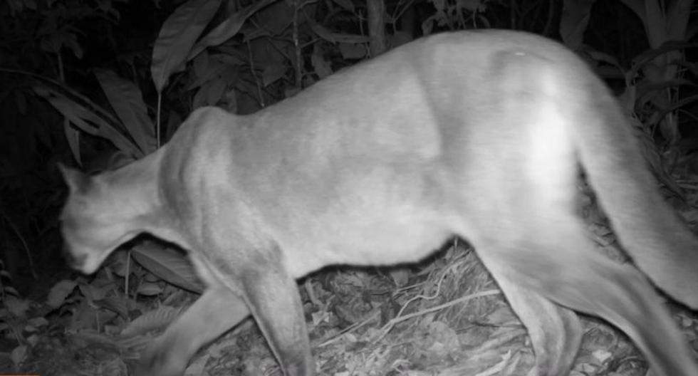 Seis nuevos registros de mamíferos nunca antes vistos se encontraron en el Parque Nacional Tingo María, anunció el Servicio Nacional de Áreas Naturales Protegidas por el Estado. (Foto/Sernanp).