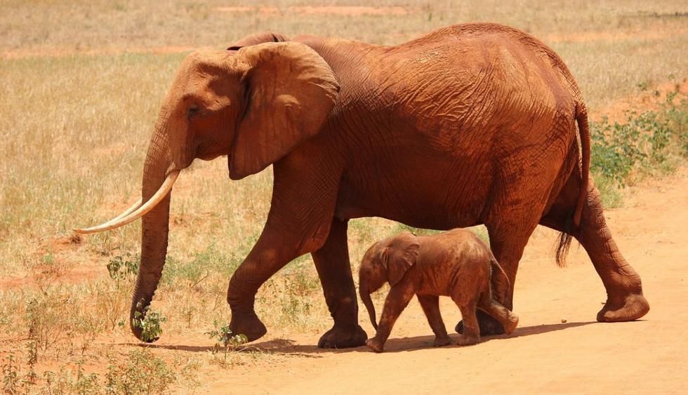 Esta mamá elefante es tan cariñosa para despertar al bebé que todos han quedado cautivados. (Foto: Pixabay)