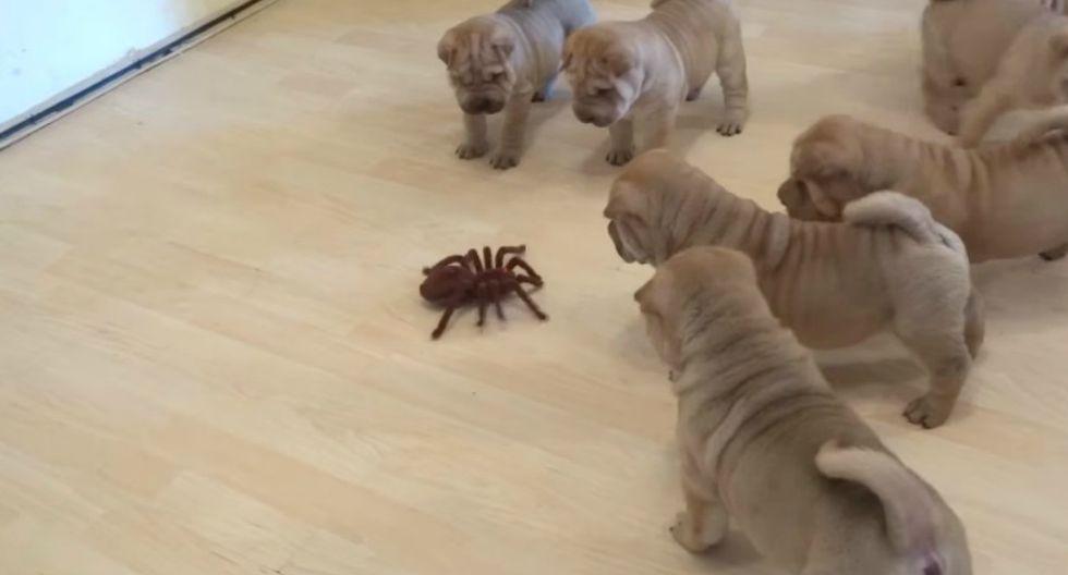 Se viralizó en Facebook la curiosa escena protagonizada por unos tiernos cachorros y una tarántula de juguete. (Foto: Captura)