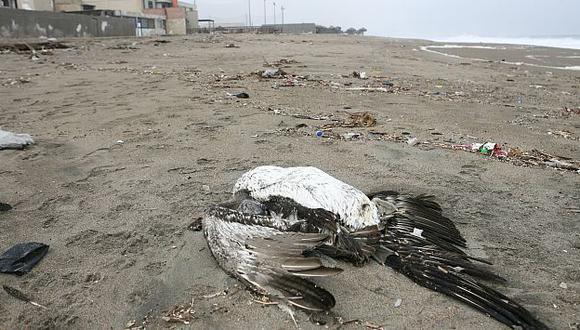 Más de 10 pelícanos fueron hallados muertos en la playa La Encantada, de Chorrillos. (David Vexelman)
