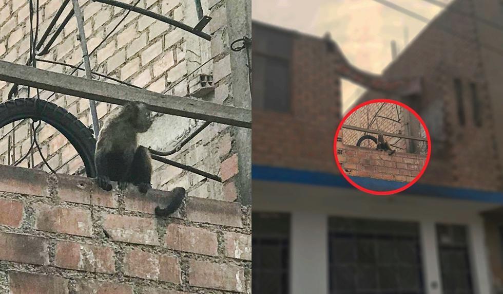 El mono permanece amarrado durante todo el día en el techo de la vivienda. (Perú21)