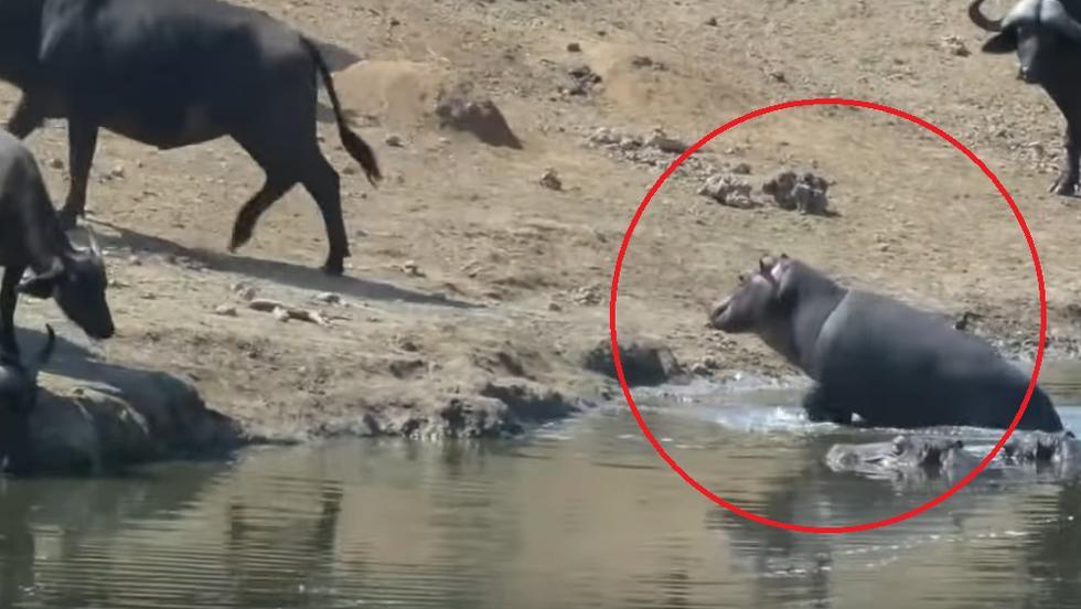 Pequeño mamífero asustó a una manada de búfalos por beber en su abrevadero. Imágenes se volvieron tendencia en YouTube.