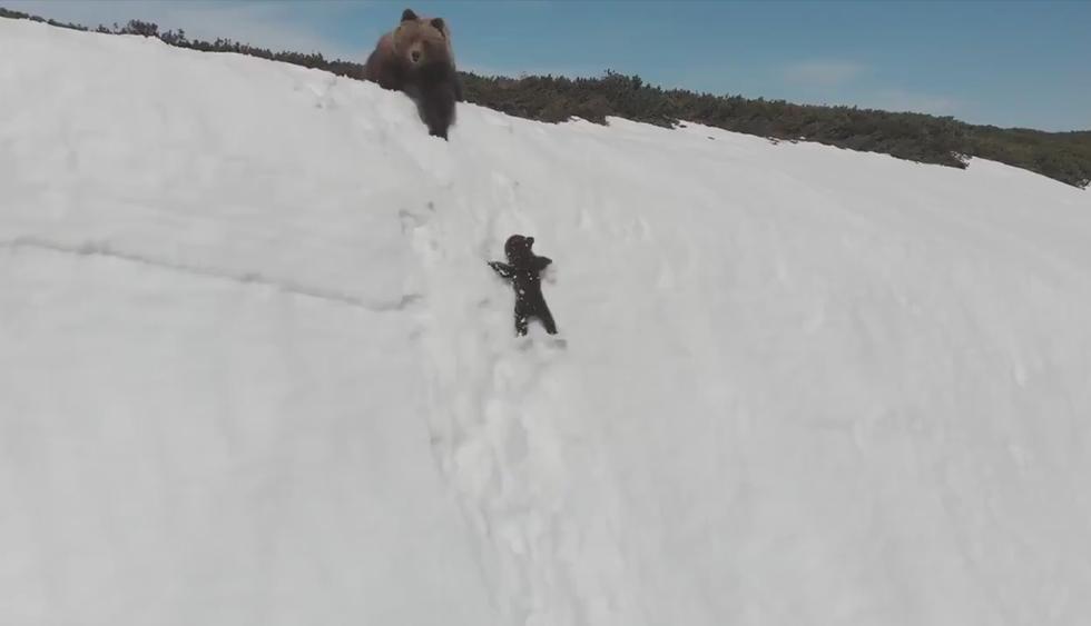 Millones ven las imágenes como una historia de superación  y realmente se trata de un acoso a los osos. (Twitter | @ziyatong)