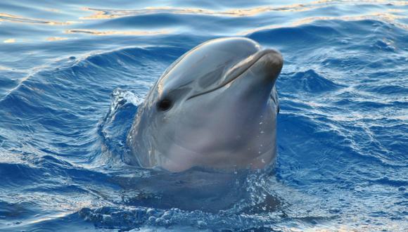 Un video viral muestra que además de extremadamente inteligentes, los delfines también son atléticos y saben hacer volteretas bajo el agua. | Crédito: Pixabay / Referencial