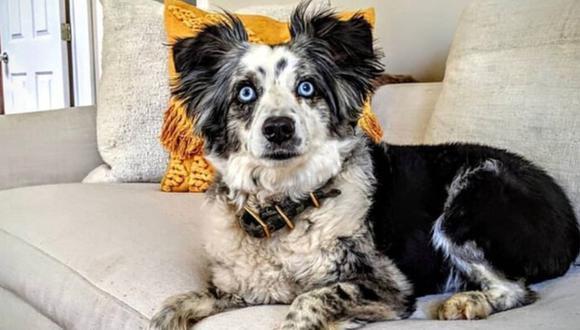 US$ 7.000 de recompensa: Se busca a Jackson, un perro pastor australiano que fue robado en San Francisco. (Twitter)