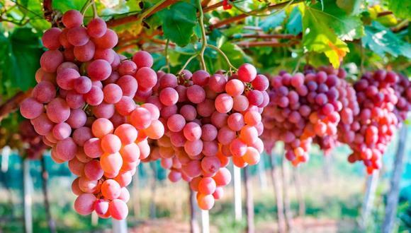 El Perú es el tercer país exportador mundial de uva fresca y cuenta con 19,500 hectáreas certificadas para la exportación de esa fruta.