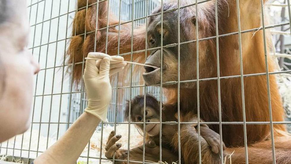 El recinto animal informó hoy que la prueba mostró que el padre de Padma, de 5 meses, no era el macho en su recinto. (AP)