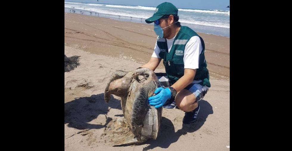 Tortuga marina es encontrada muerta en playa de Tacna por haber ingerido plásticos. (SERFOR)