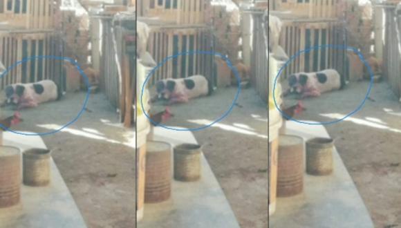 Ica: Pitbull desfigura y arranca oreja a joven madre, quien debido a su estado de ebriedad ingresó al techo a casa de su vecino, donde estaba el can. (Foto Ecos de la Noticia)