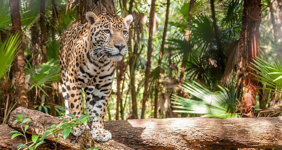 Extinción: Solo quedan 22 mil jaguares en el Perú, cerca de la mitad de la cifra que deberían haber. (Conexión Jaguar)