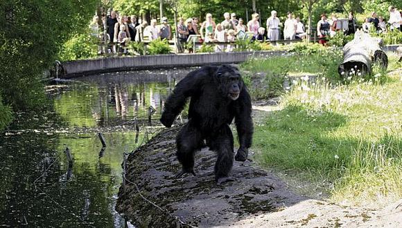 Santino reside en el zoológico sueco de Furvik. (britannica.com)