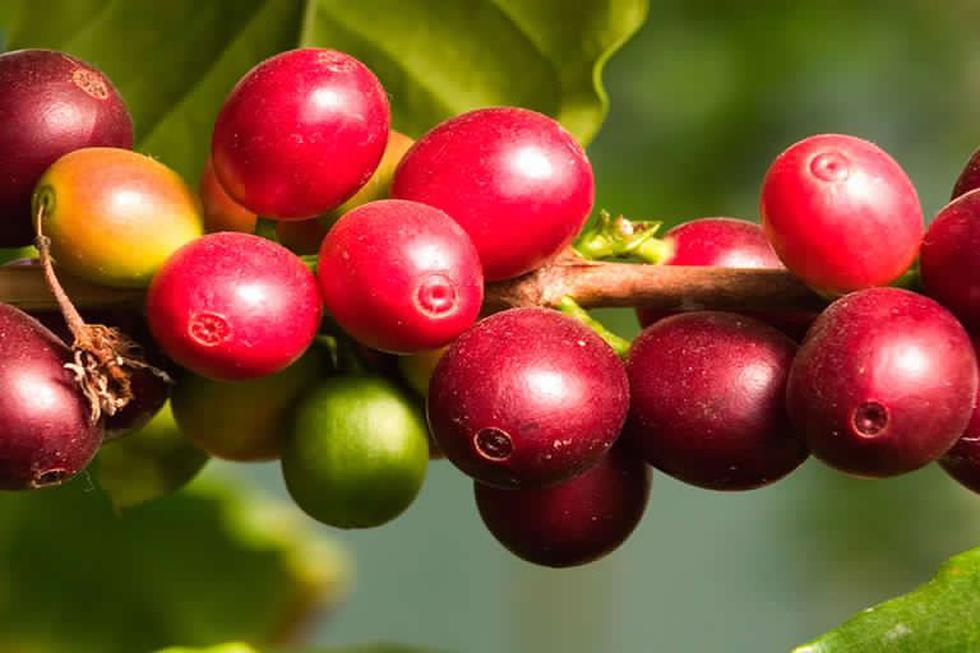 Este fruto del corazón de la Amazonía peruana es altamente nutritivo y tiene propiedades astringentes, antioxidantes y antiinflamatorias. (Foto: Difusión)