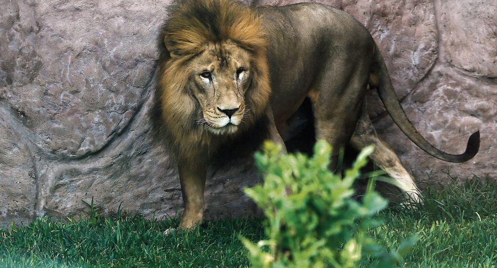 Sultán fue rescatado de un circo informal de Piura en 2010. Ahora vive con su pareja, una leona de ocho años llamada Bonita, y su cría Chiclayanita. (USI)