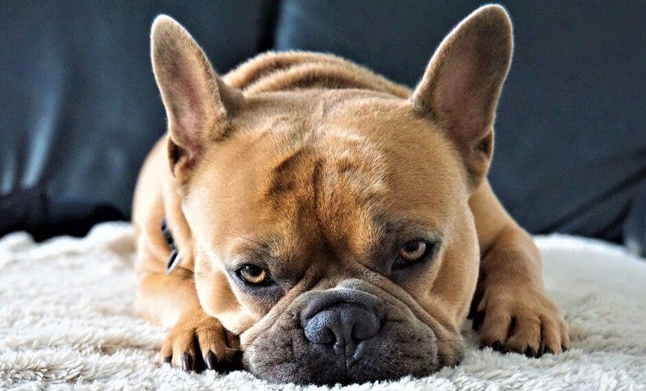 Un adorable bulldog francés cautivó a más de uno en YouTube con sus quejas. (Foto: Pixabay/Referencial)
