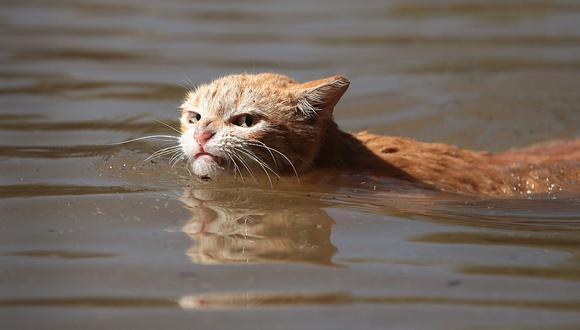 Un gato en medio de la inundación de 2017 en Texas.  (Foto: Getty Images) | Referencial