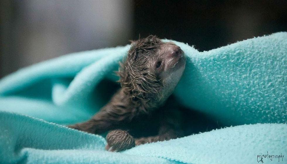 Un perezoso recién nacido parece sonreír en Playa Herradura, Costa Rica. (Sam Trull/Primatography)
