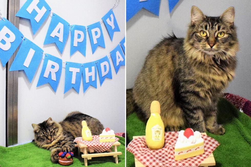 Una gatita rescatada se volvió tendencia porque ninguno de sus invitados acudió a la fiesta de cumpleaños que le organizaron para encontrarle un nuevo hogar. (Foto: battersea.org.uk)