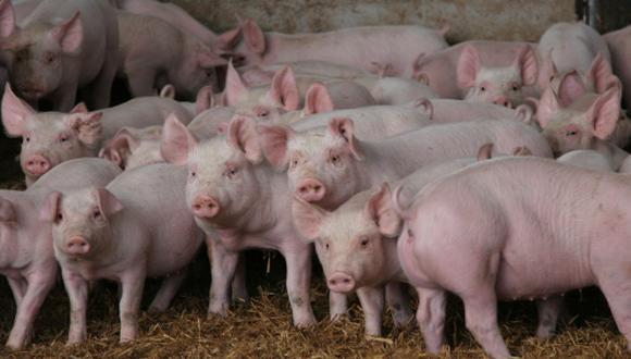 Cisticercosis, ¿se contagia el comer la carne de cerdo? Conoce la respuesta en Salud21. (Getty Images)