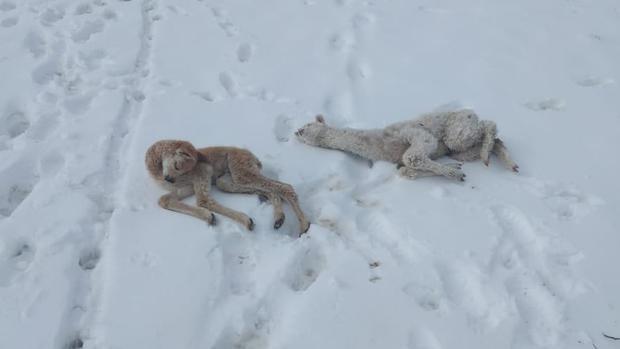 Animales terminaron muertos tras las intensas nevadas (Foto: Municipalidad de Corani)